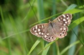 180612 Speckled wood