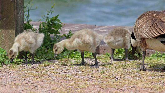 180614 Canada geese goslings (2)