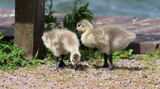 180614 Canada geese goslings (3)