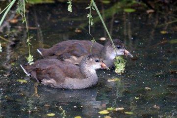 180614 Moorhen chicks (3)