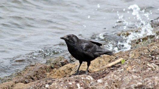 180615 11 carrion crow