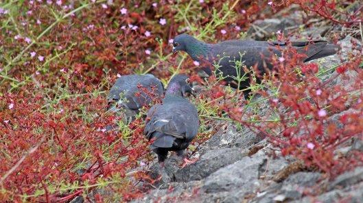 180615 5 feral pigeons