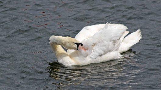 180615 7 mute swan