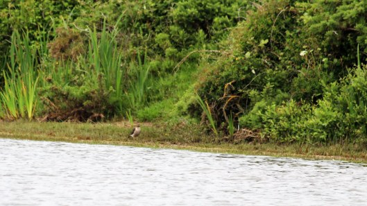 180616 4 sparrowhawk