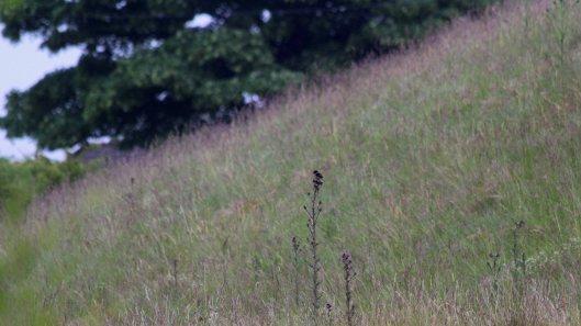 180617 Birding Bargoed uplands (9)