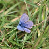 180618 3 common blue