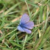 180618 3 common blue