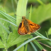 180618 4 large skipper
