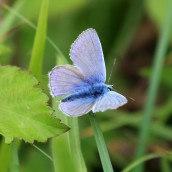 180618 5 common blue