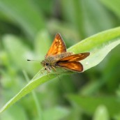 180618 9 large skipper