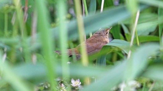 180621 Reed warblers (1)