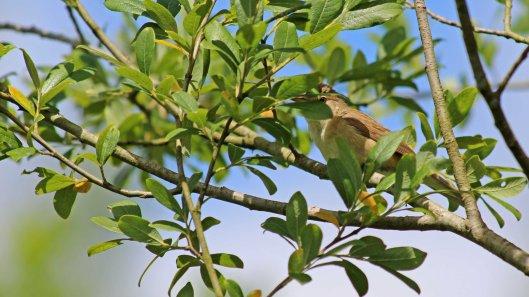 180621 Reed warblers (2)