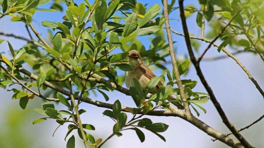 180621 Reed warblers (3)