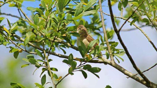 180621 Reed warblers (4)