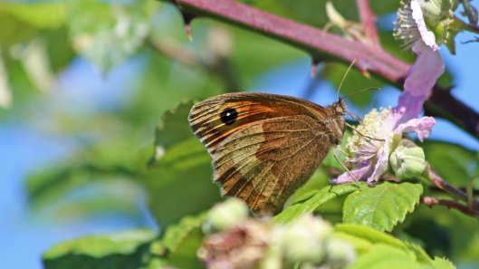 180625 meadow brown