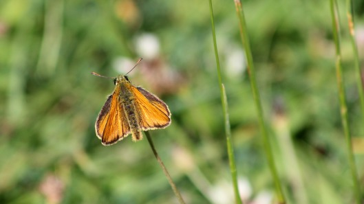 180625 small skipper
