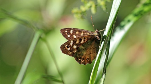 180625 speckled wood