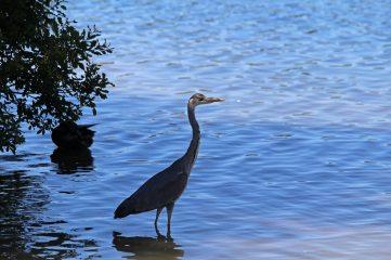180627 grey heron (1)
