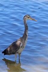 180627 grey heron (2)