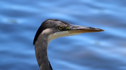180627 grey heron (3)
