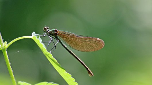 180628 Beautiful demoiselle female