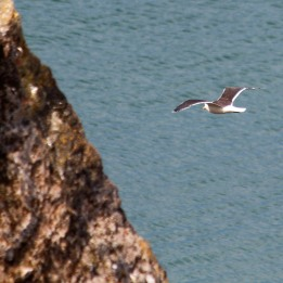 180702 3 Great black-backed gull