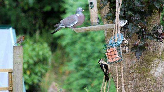 180705 1 Pengam garden birds