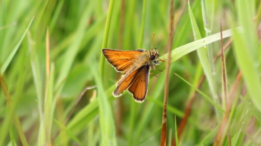 180705 3 Small skipper