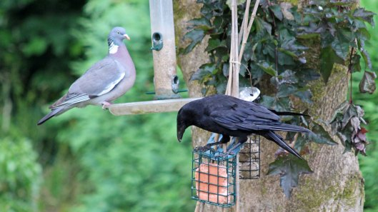 180705 3 Woodpigeon and Carrion crow
