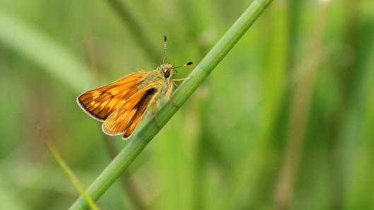 180705 4 Large skipper