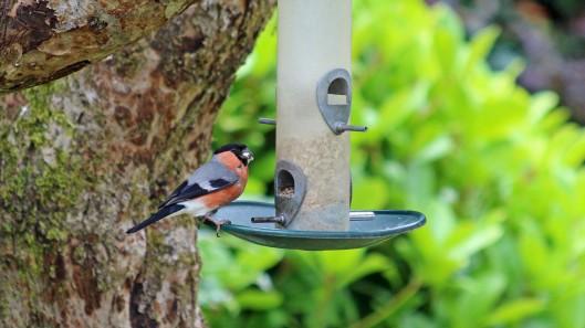 180705 6 Bullfinch
