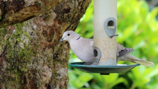 180705 7 Collared dove