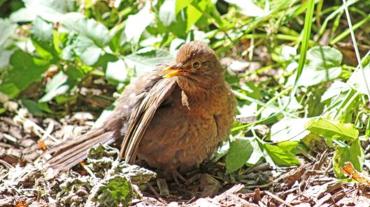 180707 sunbathing blackbird (2)