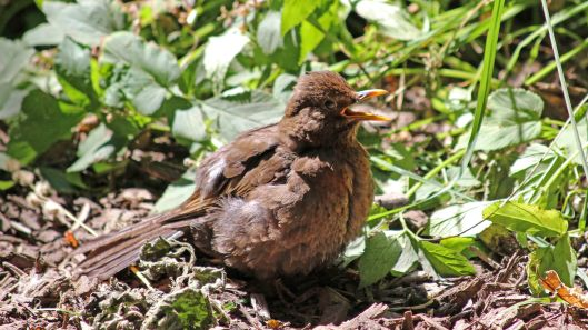 180707 sunbathing blackbird (3)
