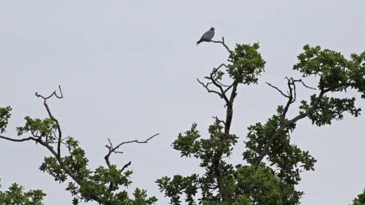 180711 1 stock dove