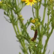 180711 b cinnabar caterpillars
