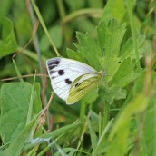 180711 b green-veined white