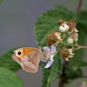 180711 b meadow brown