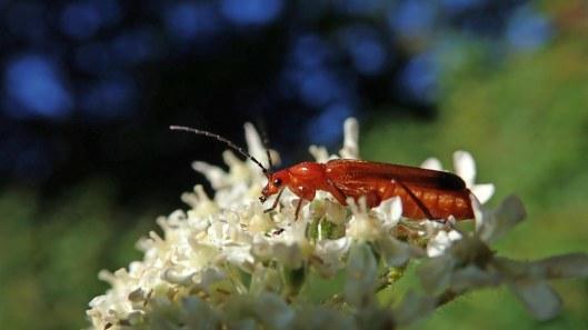 180712 hogweed bonking beetle (1).jpg