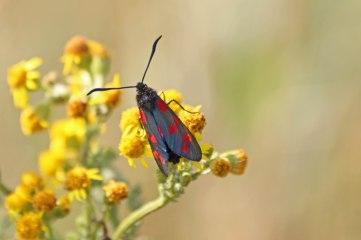 180712 Six-spot burnet moths on ragwort(1)