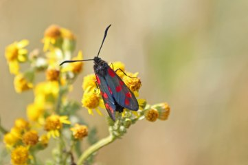 180712 Six-spot burnet moths on ragwort(1)