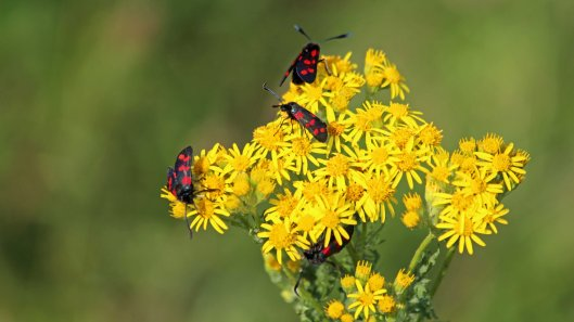 180712 Six-spot burnet moths on ragwort(2)