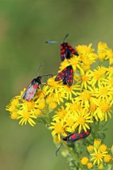 180712 Six-spot burnet moths on ragwort(3)
