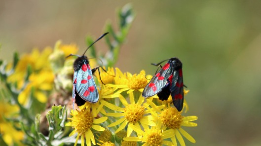 180712 Six-spot burnet moths on ragwort(4)