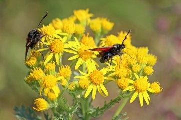 180712 Six-spot burnet moths on ragwort(5)
