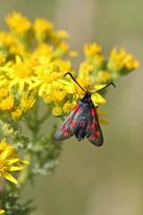 180712 Six-spot burnet moths on ragwort(6)