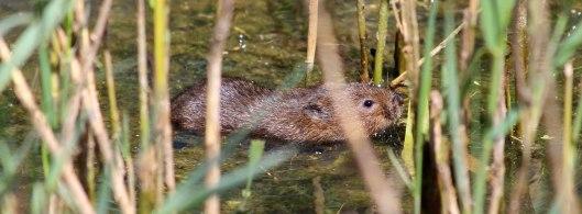 180715 water vole (1)