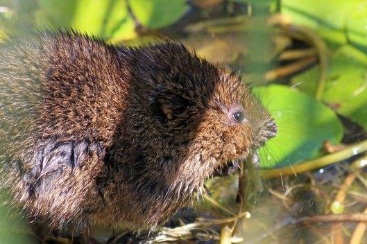 180715 water vole (4)
