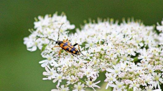 180717 Spotted longhorn beetle (1)