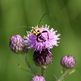 180717 Spotted longhorn beetle (3)
